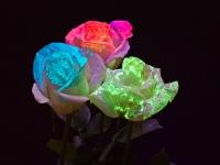 Светящиеся розы в темноте Севастополь_1